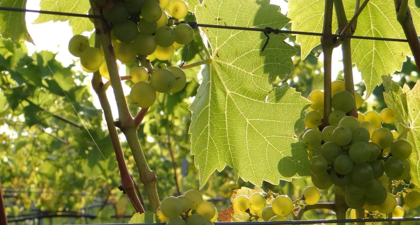 Charmat Method sparkling wine