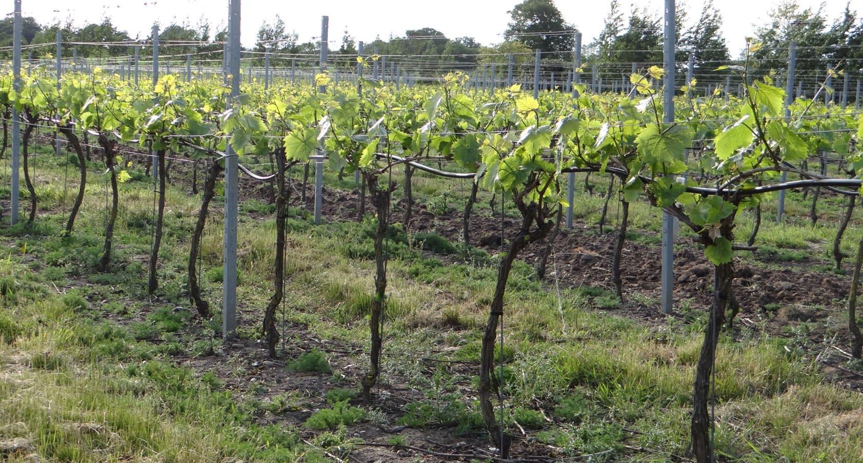 Chet Valley Vineyard Redwing