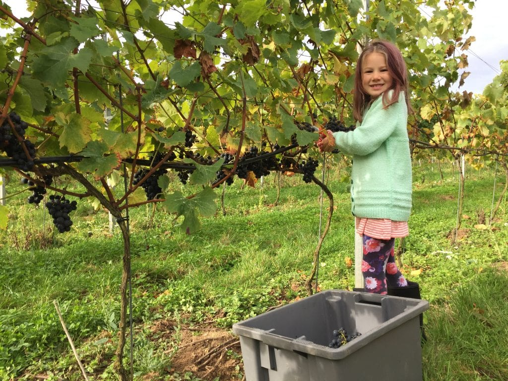 A little girl looking at the camera and smiling while picking grape vines in Chet Valley Vineyard.