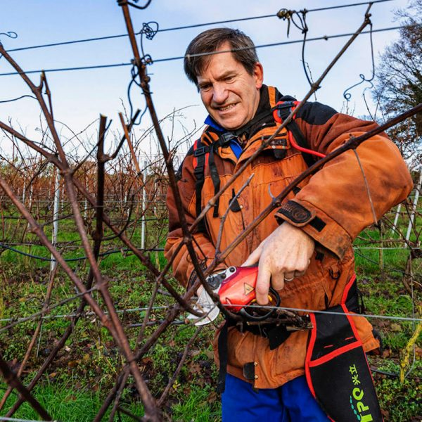 The owner of Chet Valley Vineyard cutting the vines.