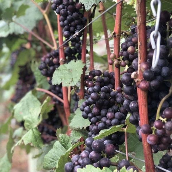 A picture of several purple grape vines.