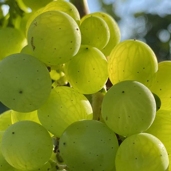 A close up picture of green grapes in the sunny Chet Valley Vineyard.